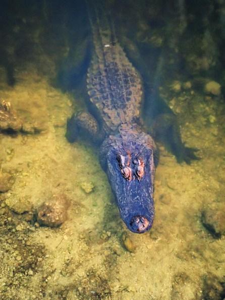 Resting Alligator in Big Cypress National Preserve 5