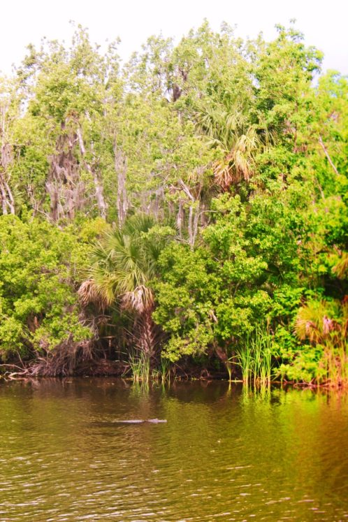 Alligator and cypress trees at De Leon Springs State Park Daytona Beach 2