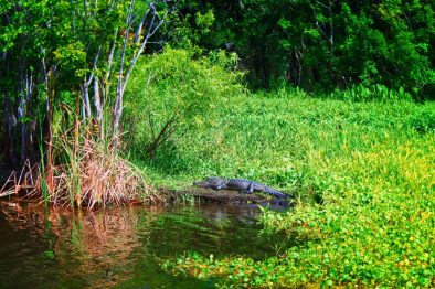 Alligator and lilypads at De Leon Springs State Park Daytona Beach 1