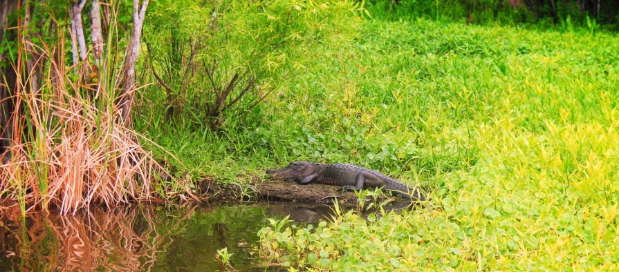 Alligator and lilypads at De Leon Springs State Park Daytona Beach 2