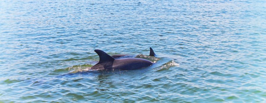 Dolphins in Matanzas River during St Augustine Ecotours 6