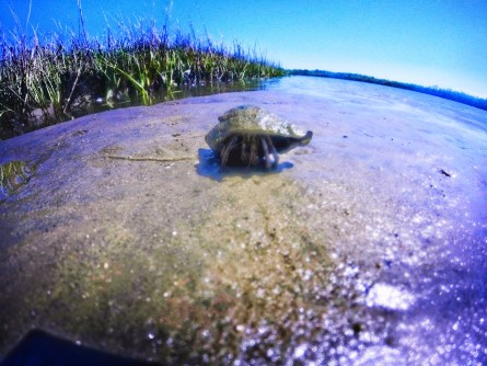 Hermit crab on mud at GTM Reserve St Augustine 1