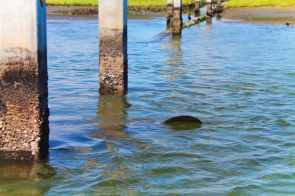 Manatee in Matanzas River during St Augustine Ecotours 1