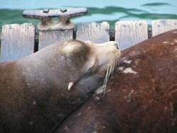 Sea Lions on dock in Astoria Oregon 1
