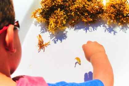 Taylor Family Exploring sargassum seaweed St Augustine Ecotours 6