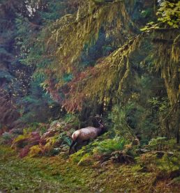 Bull Elk Hoh Rainforest Olympic National Park 4