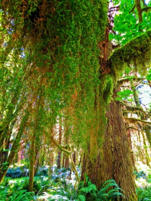 Mossy tree in Quinault Rainforest Olympic National Park 1