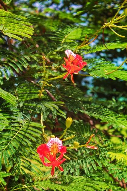 Flowering Tamdarindo in Old San Juan Puerto Rico 2