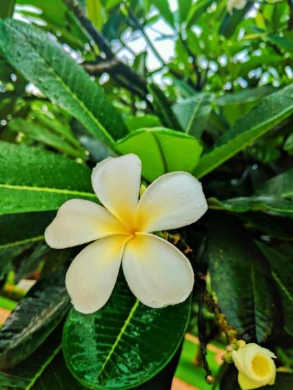 Frangiopani in gardens at El Conquistador Resort Puerto Rico 1