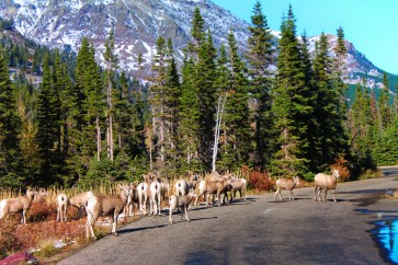 Bighorn Sheep Herd at Two Medicine Lake Glacier National Park 1