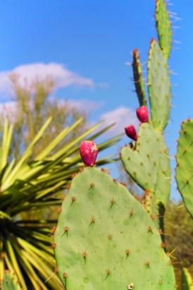 Cactus at Desert Botanical Garden Phoenix Tempe 5