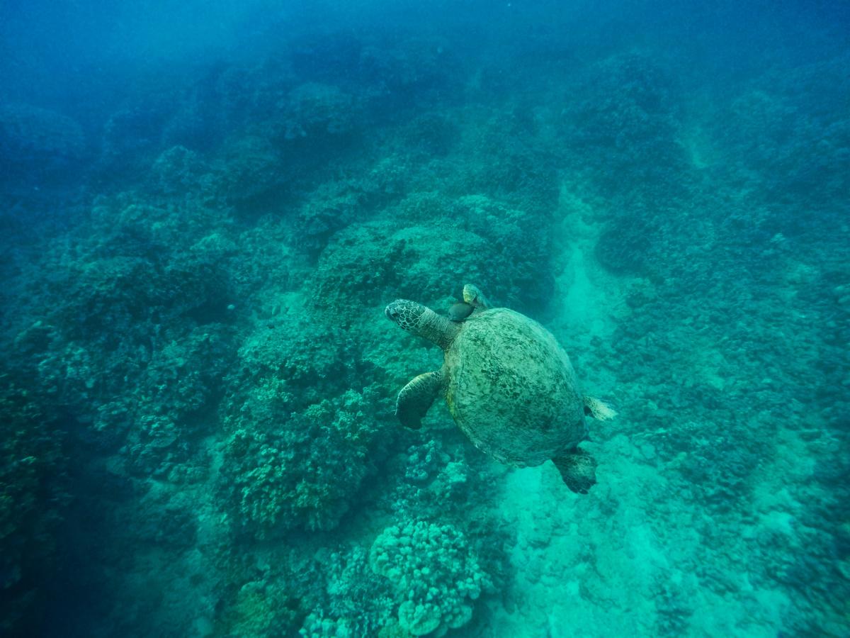 Hawaiian Green Sea Turtles under water 1