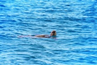 Hawaiian Green Sea Turtle catamaran snorkeling with Aulani Oahu 6