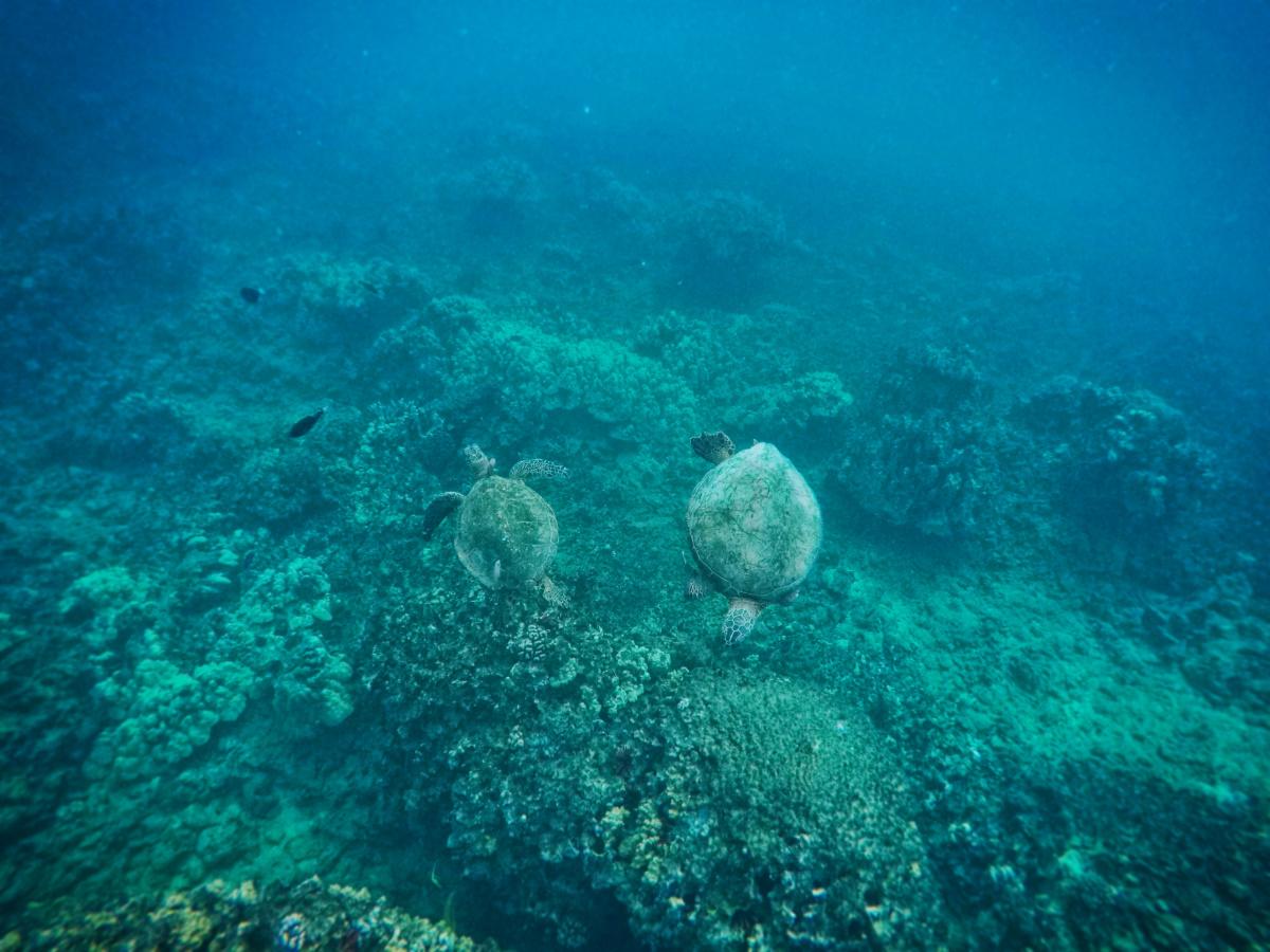 Hawaiian Green Sea Turtles under water 2