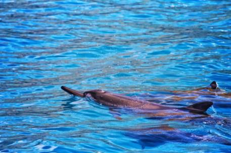 Hawaiian Spinner Dolphins catamaran snorkeling with Aulani Oahu 1