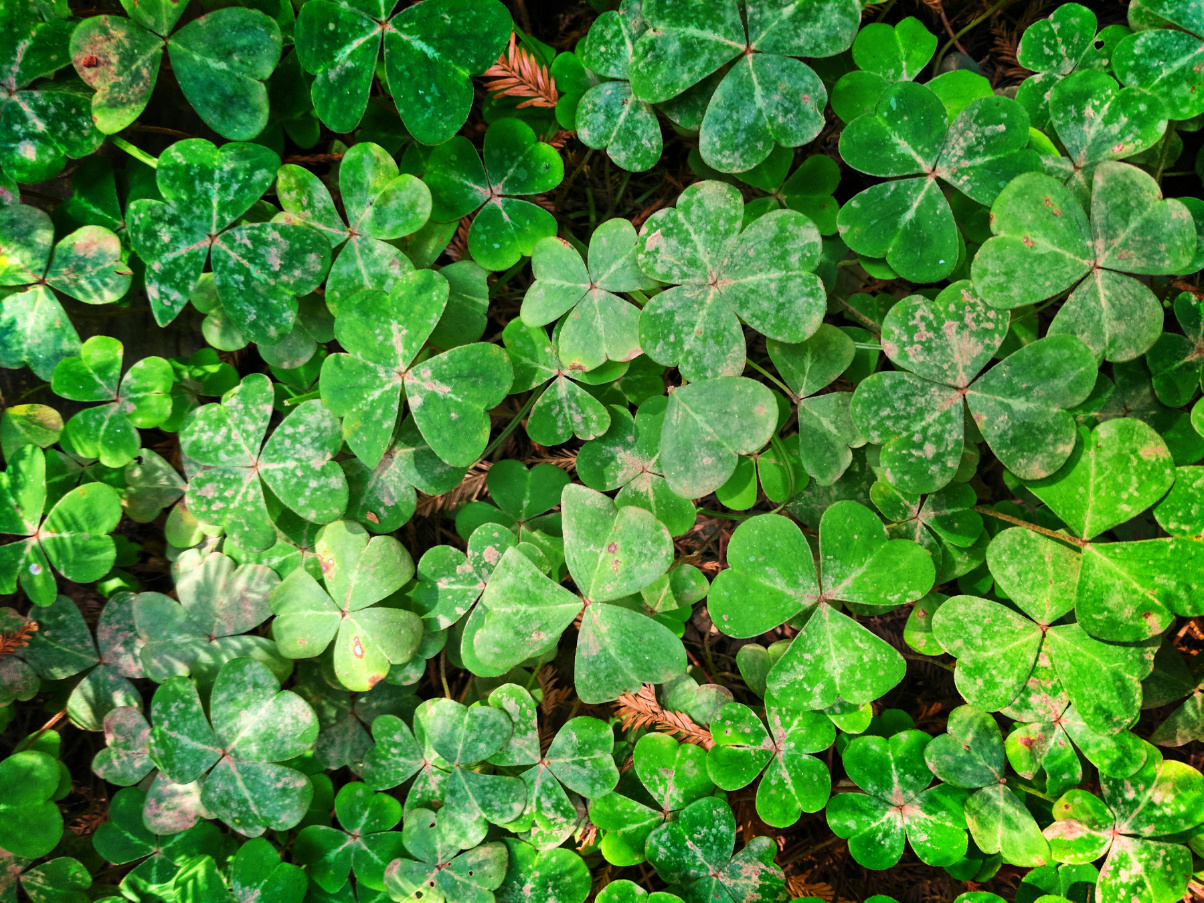 Oxalis in Muir Woods National Monument 2