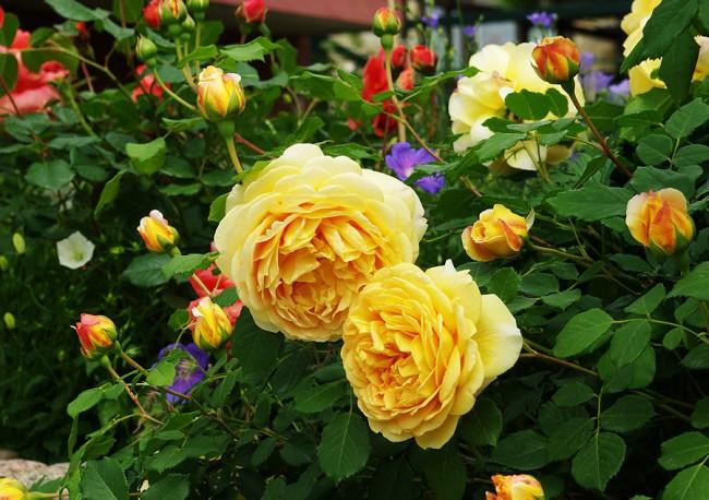 Rose graham thomas inglise parkmaa. Rose Bush Graham Thomas