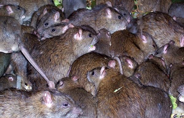 Pierdere în greutate modernă de șobolan de familie