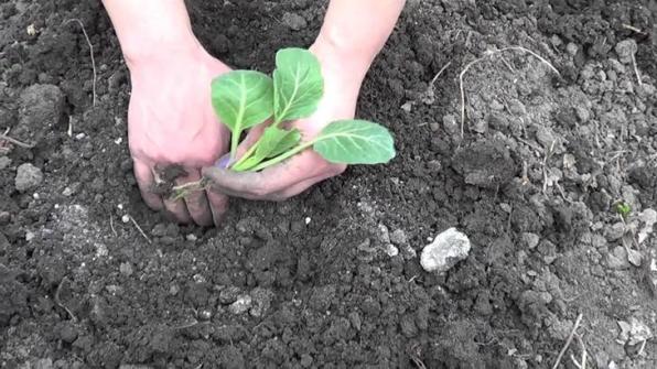 Посадка рассады капусты в открытый грунт