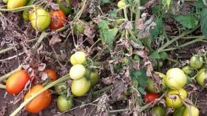 Image result for spigolare pomodori