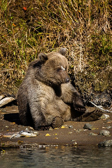 Moose Vs Bear : moose, Bears, Moose, Alaska!:, Nature, Wildlife, Photography, Forum:, Digital, Review