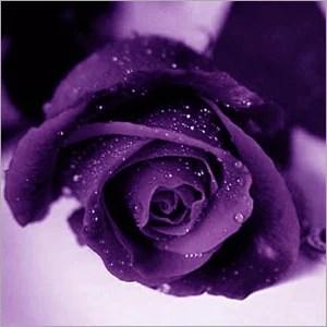purple rose fresh flowers