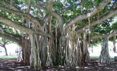 Image result for goa banyan tree