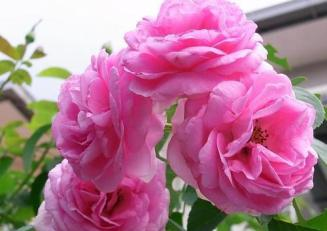 Image result for paneer rose