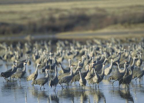 Muleshoe National Wildlife Refuge es el más antiguo Refugio de Vida Silvestre de Texas, y es uno de una cadena de refugios en la ruta migratoria central.  Situado en las altas planicies del oeste de Texas, Muleshoe se estableció como zona de invernada para las aves acuáticas migratorias y grullas.  Cuando el agua sea suficiente, el refugio alberga un gran número de grullas y una variedad de waterfowl.Photo: Wyman Meinzer - USFWS