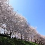 権現堂公園の桜の混雑状況!桜祭りに屋台は出る?トイレの設置状況も