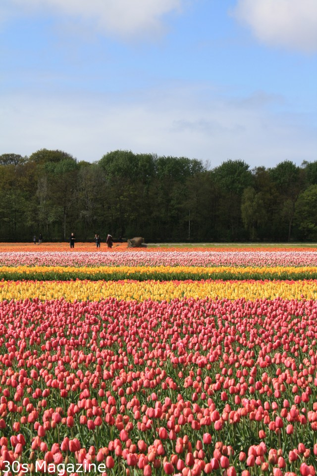 Tulip fields and flower gardens at the Keukenhof