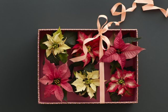 7 Christmas Styling Tips with the Poinsettia