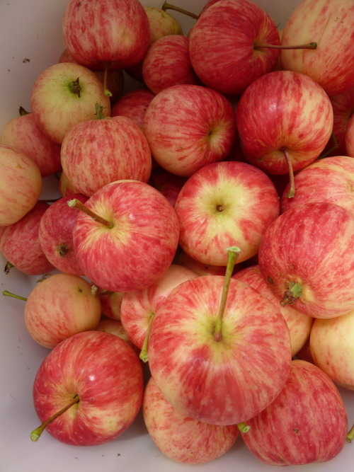 apple time begins!
