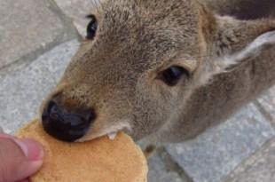 日本|讓人又愛又怕(包括尖叫)的日本小鹿們~看完都想買機票去日本啦!!