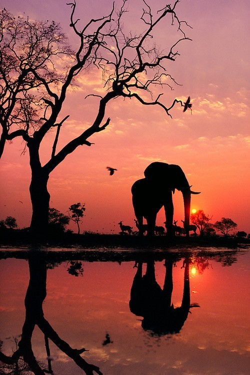 wonderous-world:</p> <p>African Elephant at Dawn by Frans Lanting</p> <p>ESCAPE<br /> DO YOU EVER FEEL LIKE ESCAPING<br /> FROM YOUR BORING LIFE?<br /> READY TO EXPLORE NEW PLACES<br /> AND WIDE OPEN SPACES.<br /> I DO EVERYDAY.