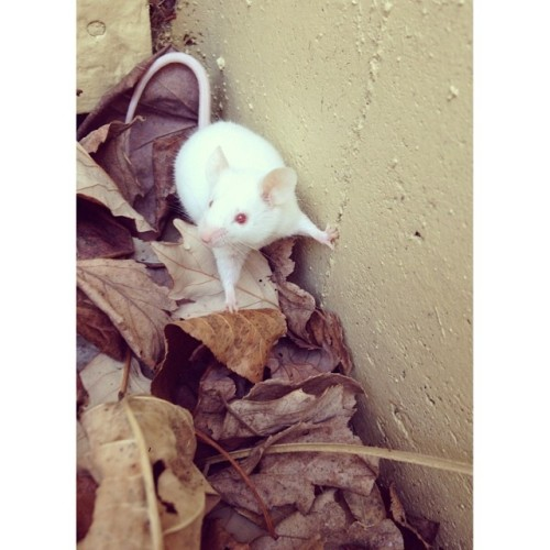 amischiefofmice:</p> <p>theluisycarlosexpedition:<br /> Okay, I'm trapped between a<br /> hard wall and a soft place of leaves.<br /> I know, I'll put on my cute grin and the<br /> humans will want to play with me.<br /> Then I'll figure out a way to escape.<br /> Hi! I'm so cute aren't I?