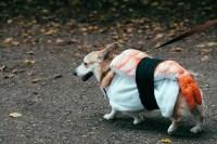 cute omg Seattle corgi corgis dogs costumes pembroke welsh ...
