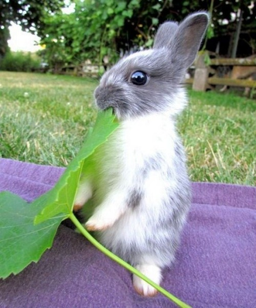 lolcuteanimals: Little bunny nibbling on a BIG leaf! Source