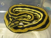 Reptile Facts - reptilesandexotics: Striped Citrus Tiger ...