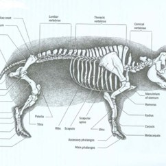 Fetal Pig Skeleton Diagram Kenwood Stereo Wiring Color Code Pre Lab Mr T Science Download File