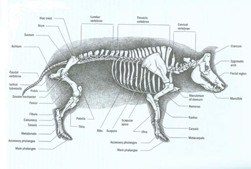 sheep skeleton diagram dual motor starter wiring pig labeled diagrams pre lab mr t science rh 314498112373402707 weebly com long bone