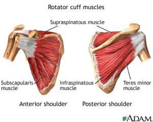 rotator-cuff-muscles