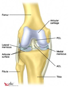 knee-anatomy-articular-cartilage
