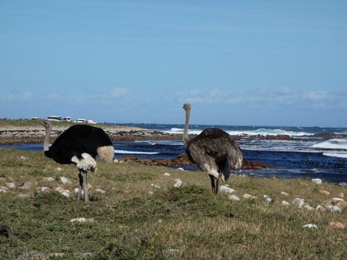 Wild Ostriches spotted along the coast on the way to Cape Point