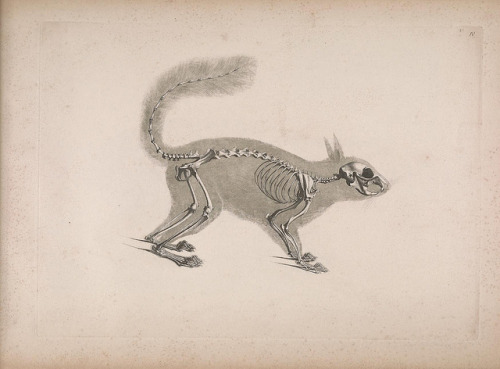 Squirrelanatomydiagram Anatomy Of Skeleton Of Squirrel Rodent