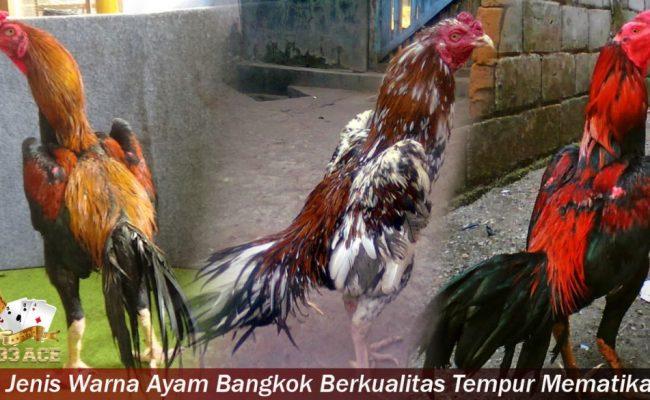 6 Jenis Warna Ayam Bangkok Berkualitas Tempur Mematikan
