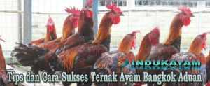 cara ternak ayam bangkok