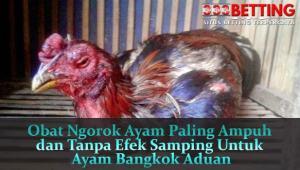 Obat-Ngorok-Ayam-Paling-Ampuh-dan-Tanpa-Efek-Samping-Untuk-Ayam-Bangkok-Aduan