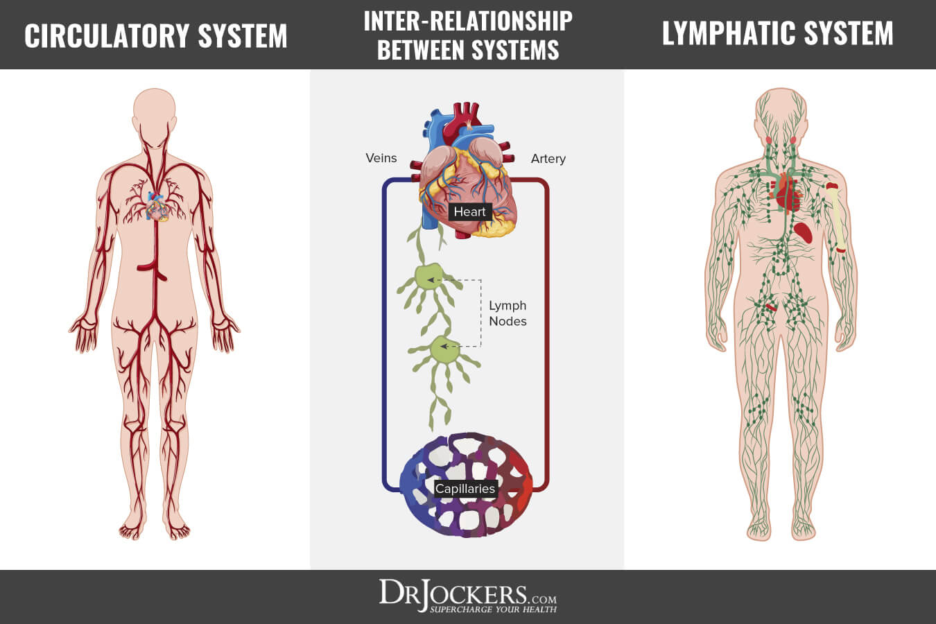 diagram nodes lymphatic system emg pickup wiring les paul 10 ways to improve your drjockers com a poorly functioning is associated with the development of chronic disease this article goes into detail on how lymphatics