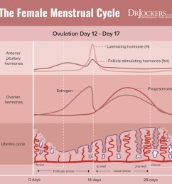 end of the cycle consists of a sharp drop in both estrogen and progesterone this signals the shedding of the built up uterine lining through menses  [ 900 x 895 Pixel ]